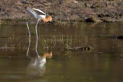 美国美国长嘴上弯的长脚鸟recurvirostra 库存图片