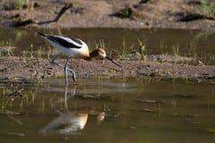 美国美国长嘴上弯的长脚鸟recurvirostra 免版税库存图片