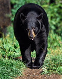 美国美洲的熊黑色熊属类 免版税库存照片
