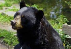 美国美洲的熊黑色熊属类 库存图片