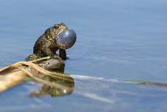 美国美洲的bufo蟾蜍 库存照片