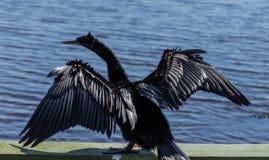 美国美洲蛇鸟干燥翼 免版税图库摄影