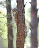 美国美洲野猫爱达荷nat北部公园黄石 免版税库存照片