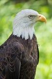 美国老鹰外形 免版税库存照片