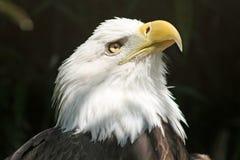 美国老鹰猛禽 免版税库存照片