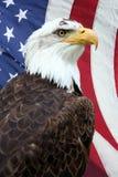 美国老鹰 免版税库存照片