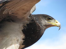 美国老鹰 库存照片