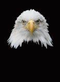 美国老鹰 图库摄影