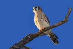 美国茶隼或SPARROW-HAWK,游隼科sparverius 免版税图库摄影