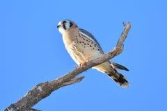 美国茶隼或SPARROW-HAWK,游隼科sparverius 免版税库存图片
