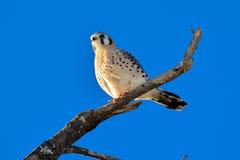 美国茶隼或SPARROW-HAWK,游隼科sparverius 库存照片
