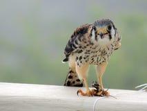 美国茶隼(食雀鹰) 库存图片