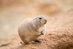 美国草原土拨鼠 库存照片