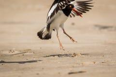 美国蛎鹬在一个晴朗的早晨发射沙滩 免版税图库摄影