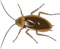 美国蟑螂传染媒介例证 皇族释放例证