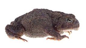 美国蟾蜍,美洲的Anaxyrus,被隔绝 免版税库存照片