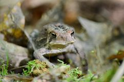 美国蟾蜍-储蓄照片 免版税图库摄影