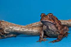 美国蟾蜍(美洲的Bufo) 免版税库存图片
