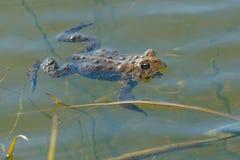 美国蟾蜍 图库摄影