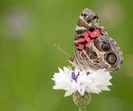 美国被绘的夫人蝴蝶 免版税库存图片