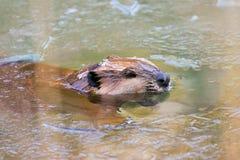 美国通配海狸冰北部的池塘 免版税图库摄影