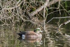 美国野鸭 免版税库存图片