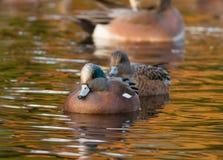 美国野鸭 库存图片