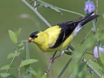 美国金翅雀哺养 库存照片