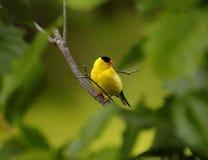 美国金翅雀在明尼苏达 库存图片