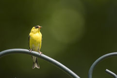 美国金翅雀栖息处 库存照片