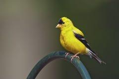 美国金翅雀男性 库存照片