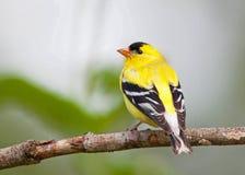 美国金翅雀男性 库存图片