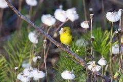 美国金翅雀看见与在它有额嘴的充满活力的黄色春天全身羽毛充分栖息的外形的头蒲公英种子 免版税库存图片