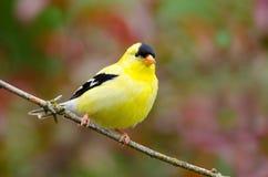 美国金翅雀,男性 库存图片