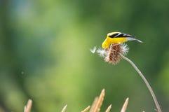 美国金翅雀 库存照片