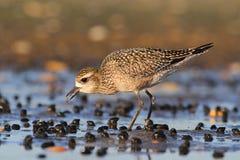 美国金黄珩科鸟(Pluvialis多米尼加) 库存照片