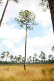 美国长叶松大草原结构树 库存照片