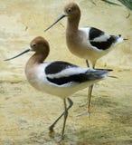 美国长嘴上弯的长脚鸟二 免版税库存照片