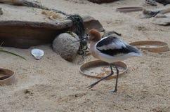 美国长嘴上弯的长脚鸟在鸟舍 库存照片