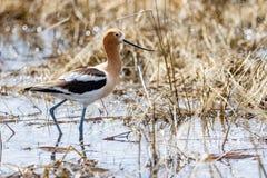 美国长嘴上弯的长脚鸟 库存照片