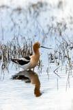 美国长嘴上弯的长脚鸟 免版税库存照片