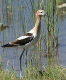 美国长嘴上弯的长脚鸟 图库摄影