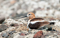 美国长嘴上弯的长脚鸟坐巢,俄勒冈,美国 免版税图库摄影