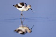 美国长嘴上弯的长脚鸟搜寻 库存照片