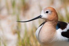 美国长嘴上弯的长脚鸟特写镜头。俄勒冈,美国 库存图片