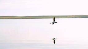 美国长嘴上弯的长脚鸟飞行 免版税库存照片