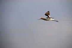 美国长嘴上弯的长脚鸟飞行 免版税库存图片