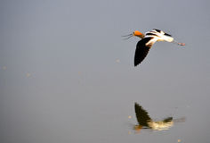 美国长嘴上弯的长脚鸟飞行 库存照片