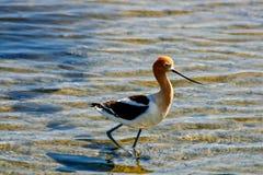 美国长嘴上弯的长脚鸟鸟 库存照片