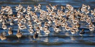 美国长嘴上弯的长脚鸟-美国的Recurvirostra 免版税图库摄影